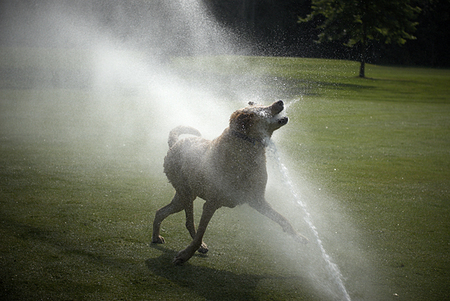 Dog Sprinkler Head, Golf Course